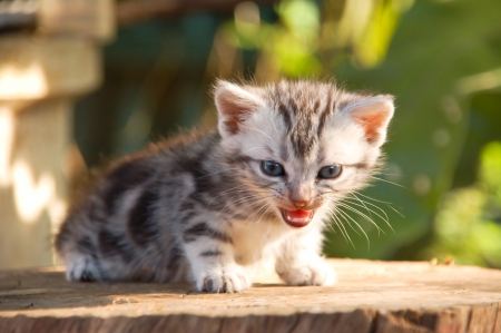 Litter American shorthair kitty on tree stem Stock Photo