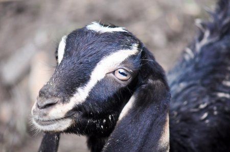 A black goat close up Stock Photo