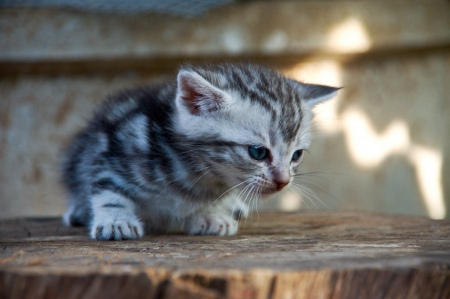 Litter American shorthair kitty on tree stem photo