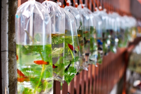 A row of plastic bag containing small fish Stock Photo - 17811436