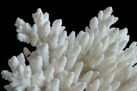 white coral isolated on black background photo