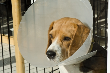 A sick Beaglel puppy wearing a funnel collar photo