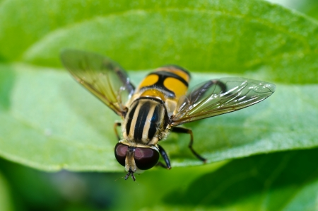 Bee on green leaf macro photograph Stock Photo - 18041273