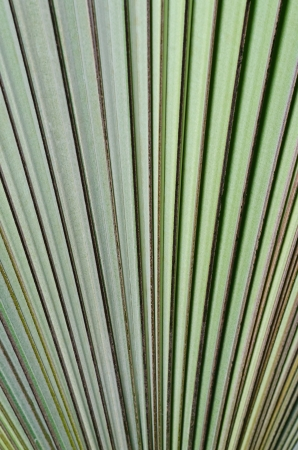 Green palm leaf texure photo