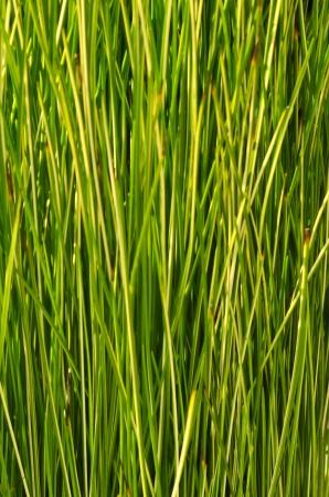 Green Sedge texture photo