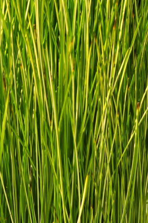 sedge: Green Sedge texture