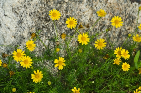 Spring flower in the garden in front of stone photo