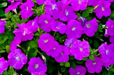 Pink morning Glory Flowers photo