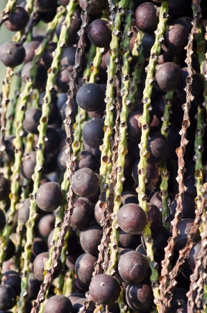 tropical fruit of queen palm close-up photo