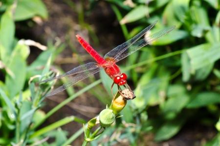 Red dragon fly macro photo photo