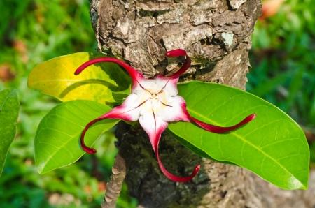 shuriken: El rojo shuriken flor Foto de archivo