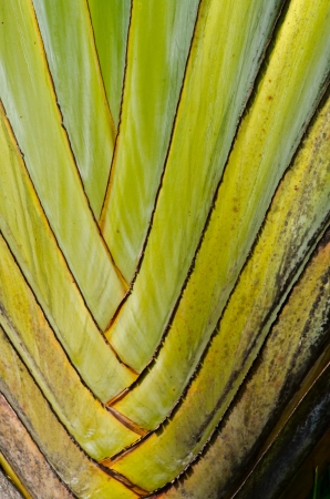 Green banana tree texure photo