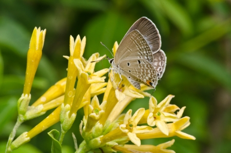 Common Blue Butterfly  Polyommatus icarus  on  yellow flowers  photo