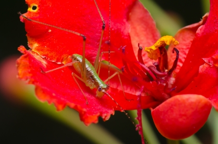 Green Grasshopper on the Red Flower  photo