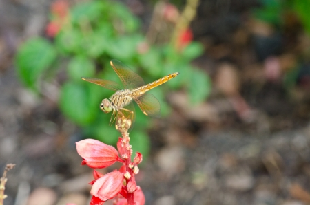 dropwing: A common dragonfly at rest on red flower Stock Photo
