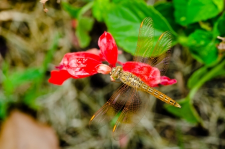 A common dragonfly at rest on red flower Stock Photo - 18210024