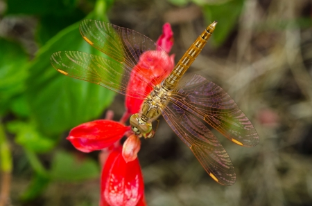 trithemis: A common dragonfly at rest on red flower Stock Photo