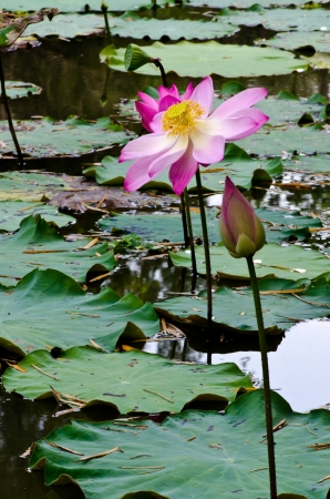 water s: Beautiful rich colors of a water lily on the water s surface Stock Photo