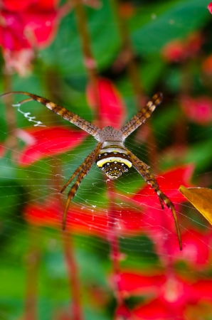 arachnidae: Spider in front of red flower and green leaf close up