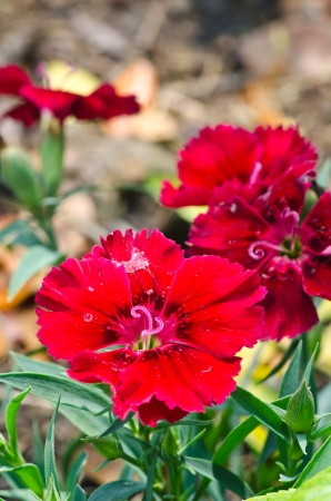 chinensis: Dianthus chinensis  China Pink  Stock Photo