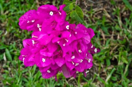 bougainvillea flowers: Pink bougainvillea flowers texture