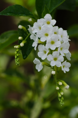 Sky flower, Golden dew drop, Pigeon berry, white Duranta flowers close up Stock Photo