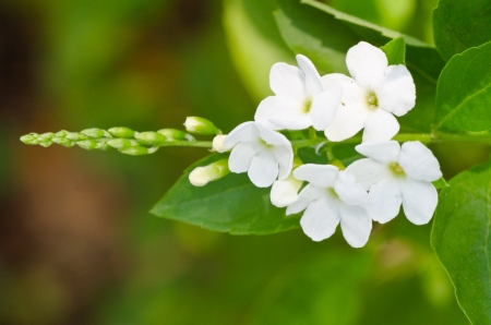 Sky flower, Golden dew drop, Pigeon berry, white Duranta flowers close up photo