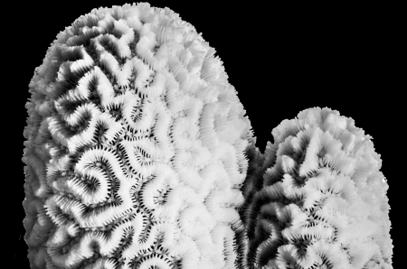 polyp: white coral isolated on black background in black and white photograph Stock Photo