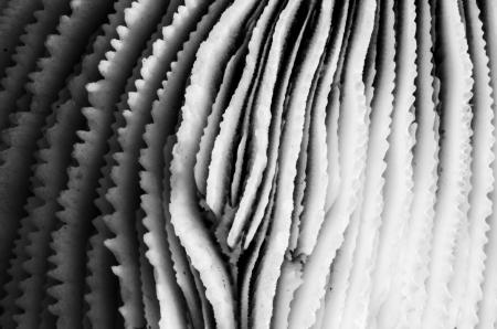 goniopora: sea coral close up in black and white photograph