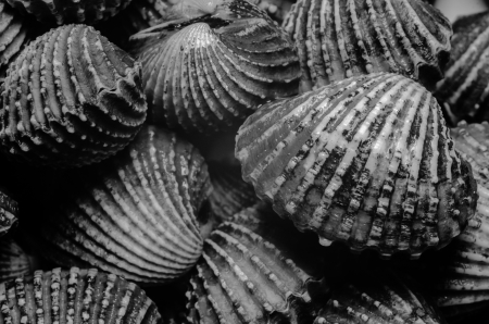 mollusc: Shells Blood Cockle texture in B W photo