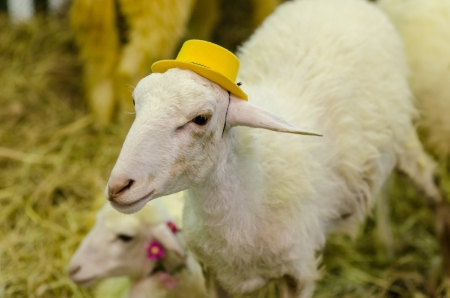 The white goat with yellow hat photo