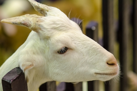The white goat with horns photo