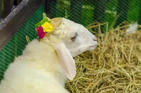 The white goat with yellow flower photo