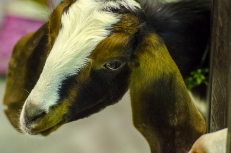 The white and brown goat photo