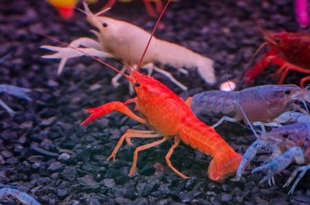 Colorful shrimps Stock Photo - 19914527