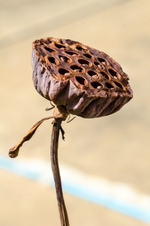 Fruit of lotus flower (Nelumbo nucifera)