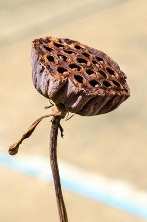 nelumbo nucifera: Fruit of lotus flower (Nelumbo nucifera)