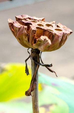 nucifera: Fruto de flor de loto (Nelumbo nucifera)