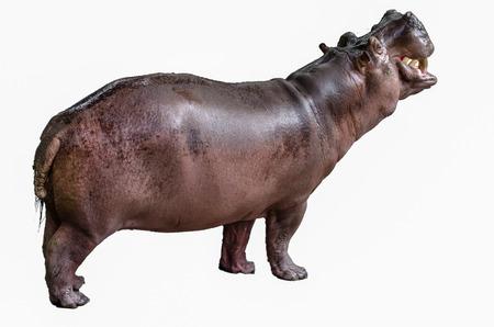jawbone: Isolated hippopotamus on white background opened mouth