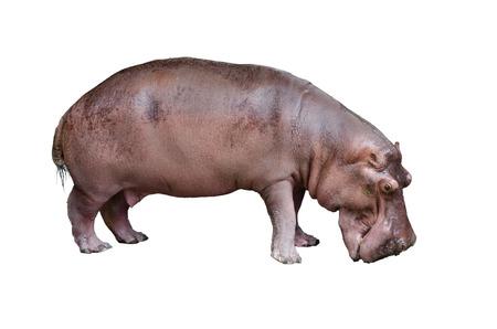 jawbone: Isolated hippopotamus on white background