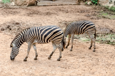 Zebra in Dusit zoo, Bangkok, Thailand photo