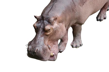 Isolated hippopotamus on white background Stock Photo - 23066436