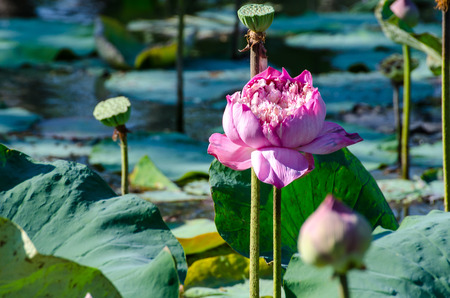 Pink lotus in sunny day