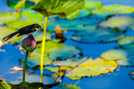 A robin on the lotus Stock Photo