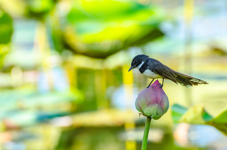 A robin on the lotus photo