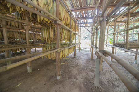 curing: Wide angle inside the local tobacco curing barns in Thailand