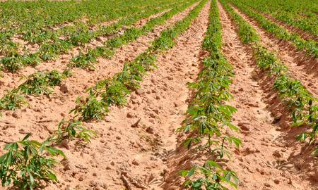 furrow: Cassava field in Thailand Stock Photo