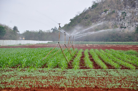 sprinklers: corn irrigation with small sprinklers Stock Photo