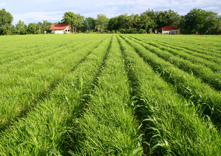 furrow: field of grasses planted in furrow
