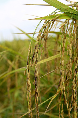 panicle: rice that infected with dirty panicle disease
